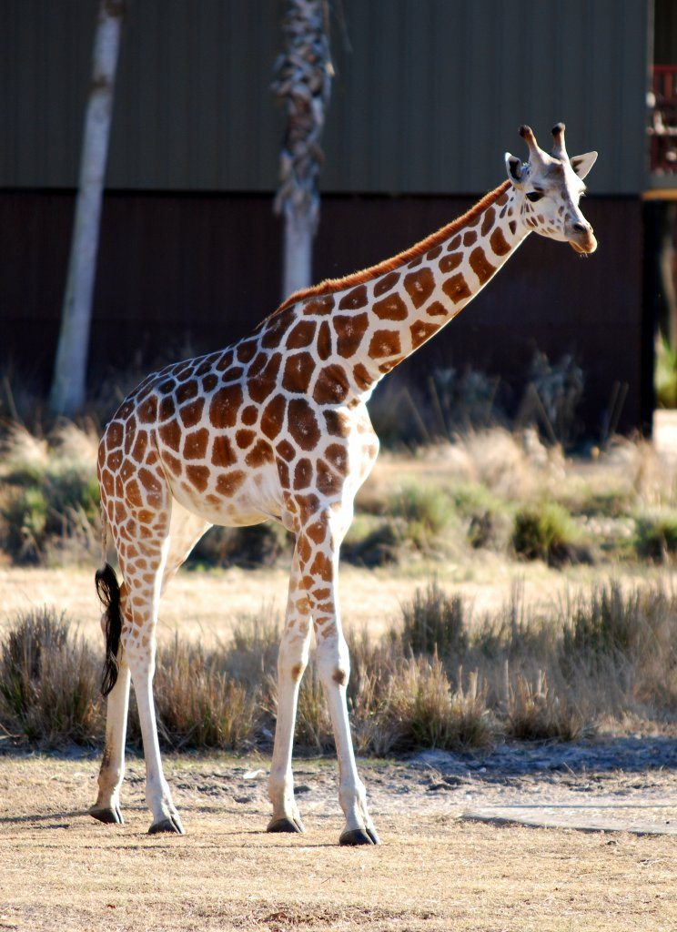 animal-kingdom-giraffe